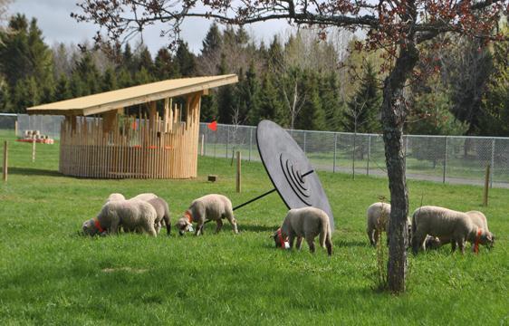 """Des """"moutondeuses"""" aux Jardins de Métis"""